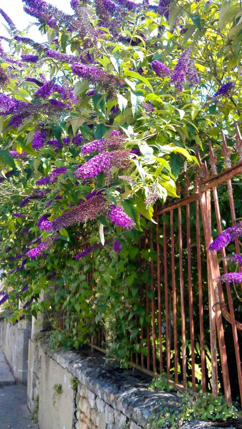 Buddleia at Champagnolles