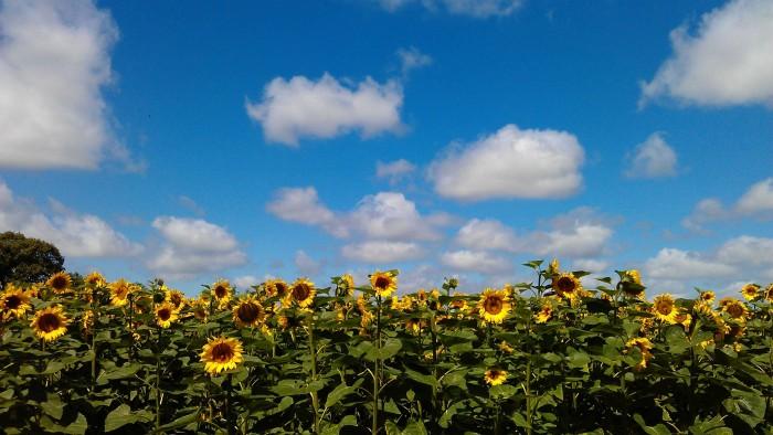 Sunflowers Nr Phiolin